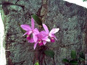 Cattleya_violacea_orquídea_orchid_1